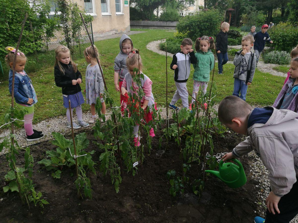 """Od nasionka po zbiory–uprawa pomidorów. Realizacja projektu ,,działam- doświadczam- odkrywam"""""""